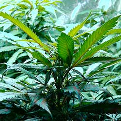 photo of cannabis leaves uplifted towrds the light, the joy of life